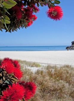 Immer zur Jahreswende zeigt der neuseeländische Weihnachtsbaum, der immergrüne Pohutukawa, an den Stränden der Nordinsel seine zauberhaften, festlich-roten Blüten. ©Betty Shepherd