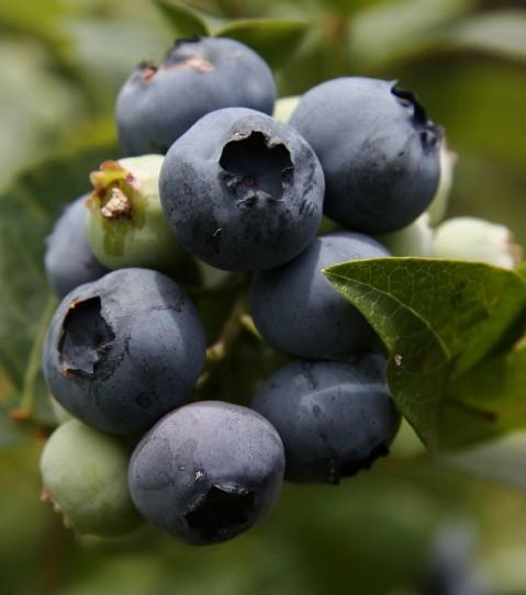 Beeren – farbenfrohe Früchte voller Geschmack und Vitalität