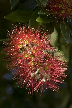 Der Neuseeländische Weihnachtsbaum ist der Pohutukawa. © Betty Shepherd