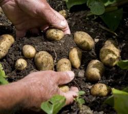 Ernährung: Ein starkes und beliebtes Gemüse…Kartoffeln